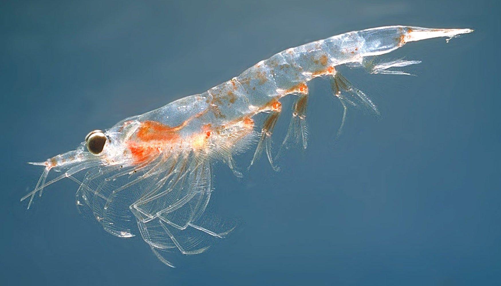 omega 3 grasa de krill beneficios